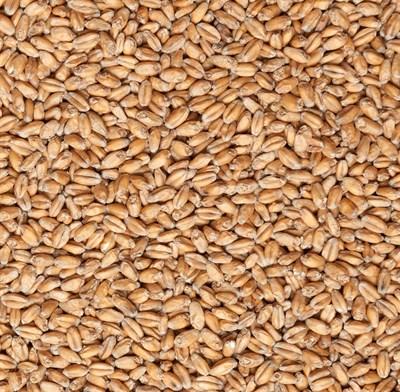 Солод пшеничный Бельгия MDC - фото 7122