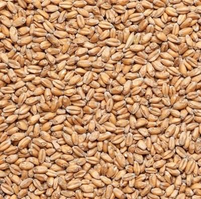 Солод пшеничный Курский - фото 9492